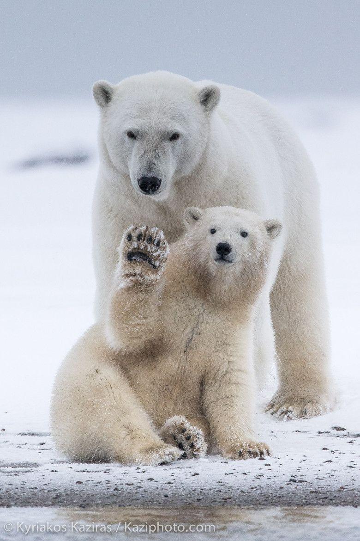 fuck-yeah-bears: Say Hello by Kyriakos Kaziras Animais Engraçados, Amo  Animais