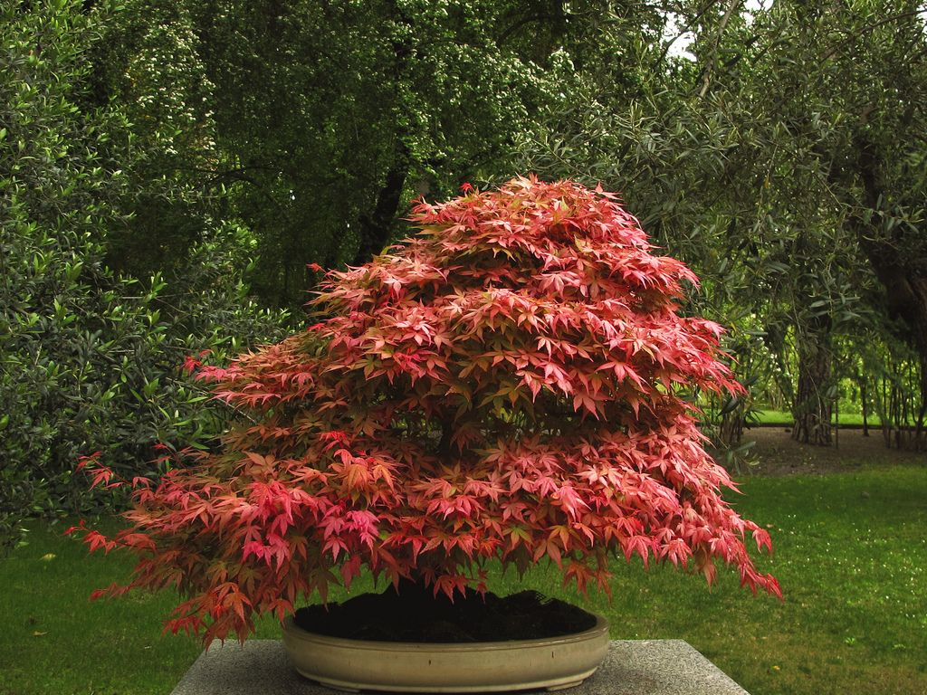Make a japanese maple bonsai tree japanese maple bonsai for Small trees for japanese garden
