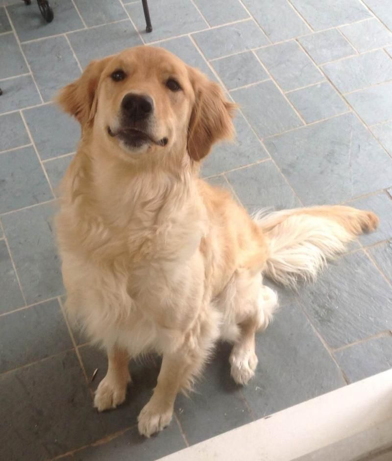Adopt Lexie On Purebred Golden Retriever Dogs Golden Retriever