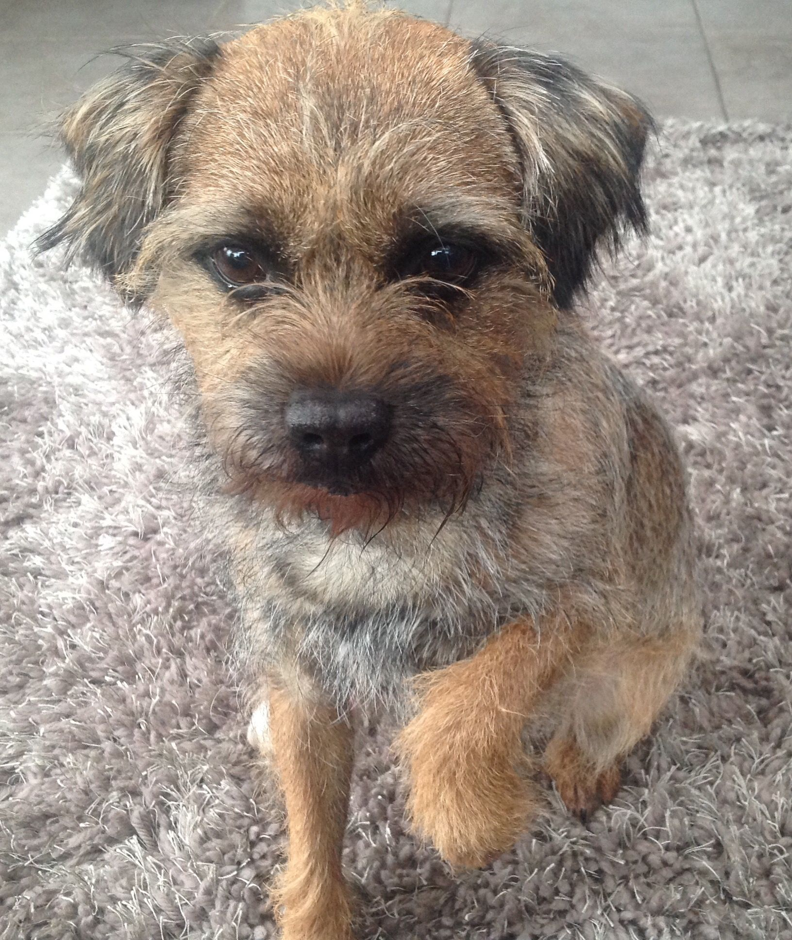 Pin By Cynthia George On Border Terriers Patterdale Terrier Border Terrier Border Terrier Puppy