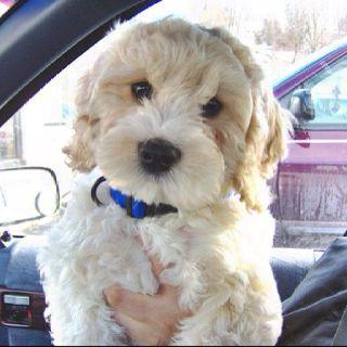 Cockapoo Coming Soon Cockapoo Cute Dogs Cockapoo Puppies