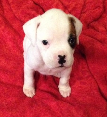 6 Week Old White Boxer Puppy Boxer Dogs Boxer Puppy White Boxer Puppies