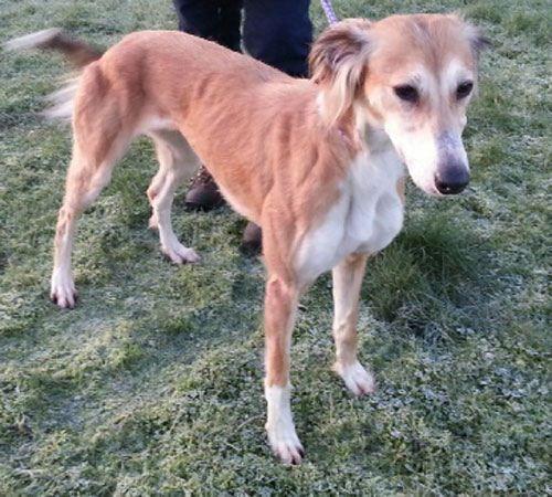 Lurcher: Heidi At Longtails Greyhound And Lurcher Rescue