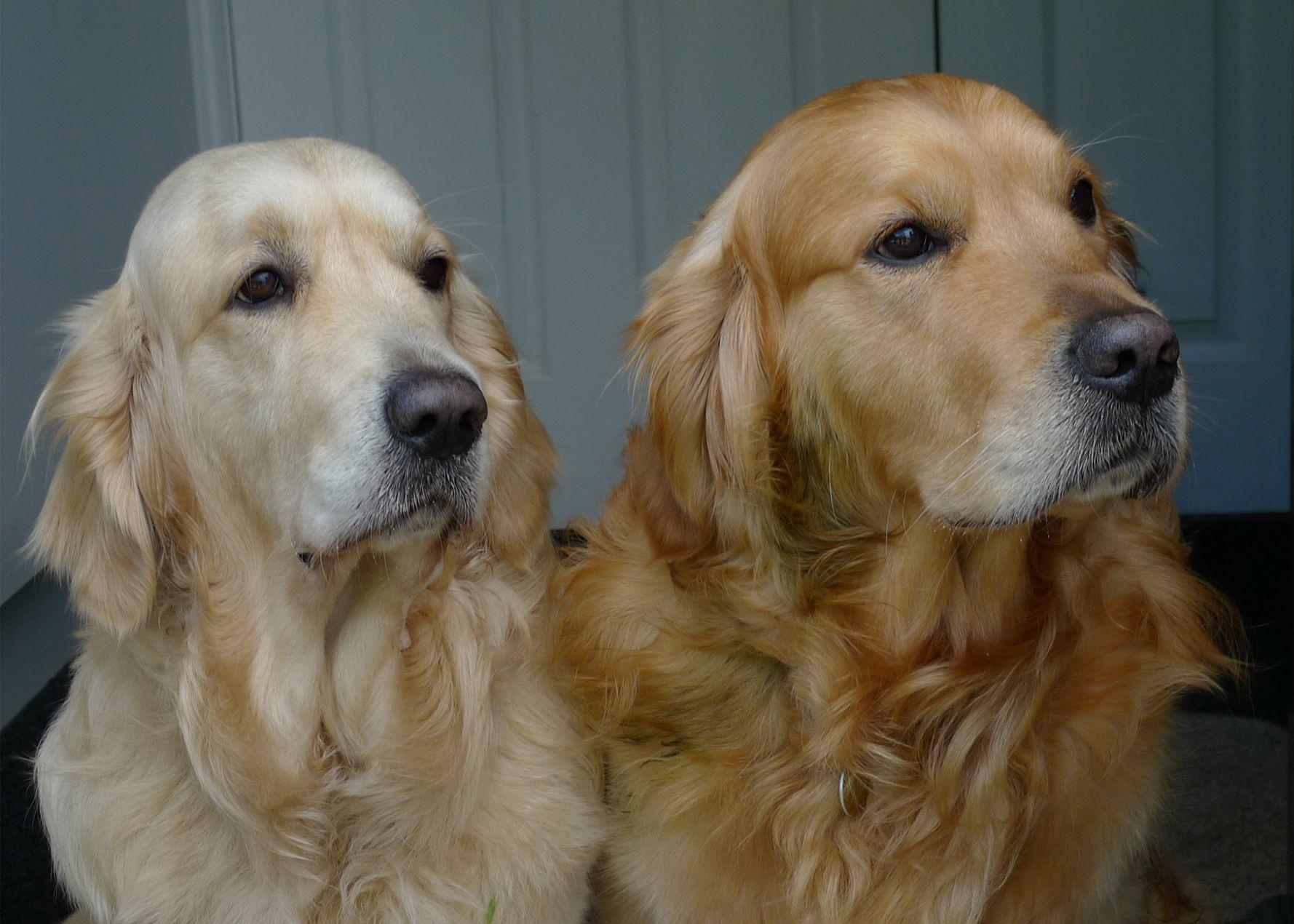Beautiful Golden Retriever Couple Golden Retriever Retriever