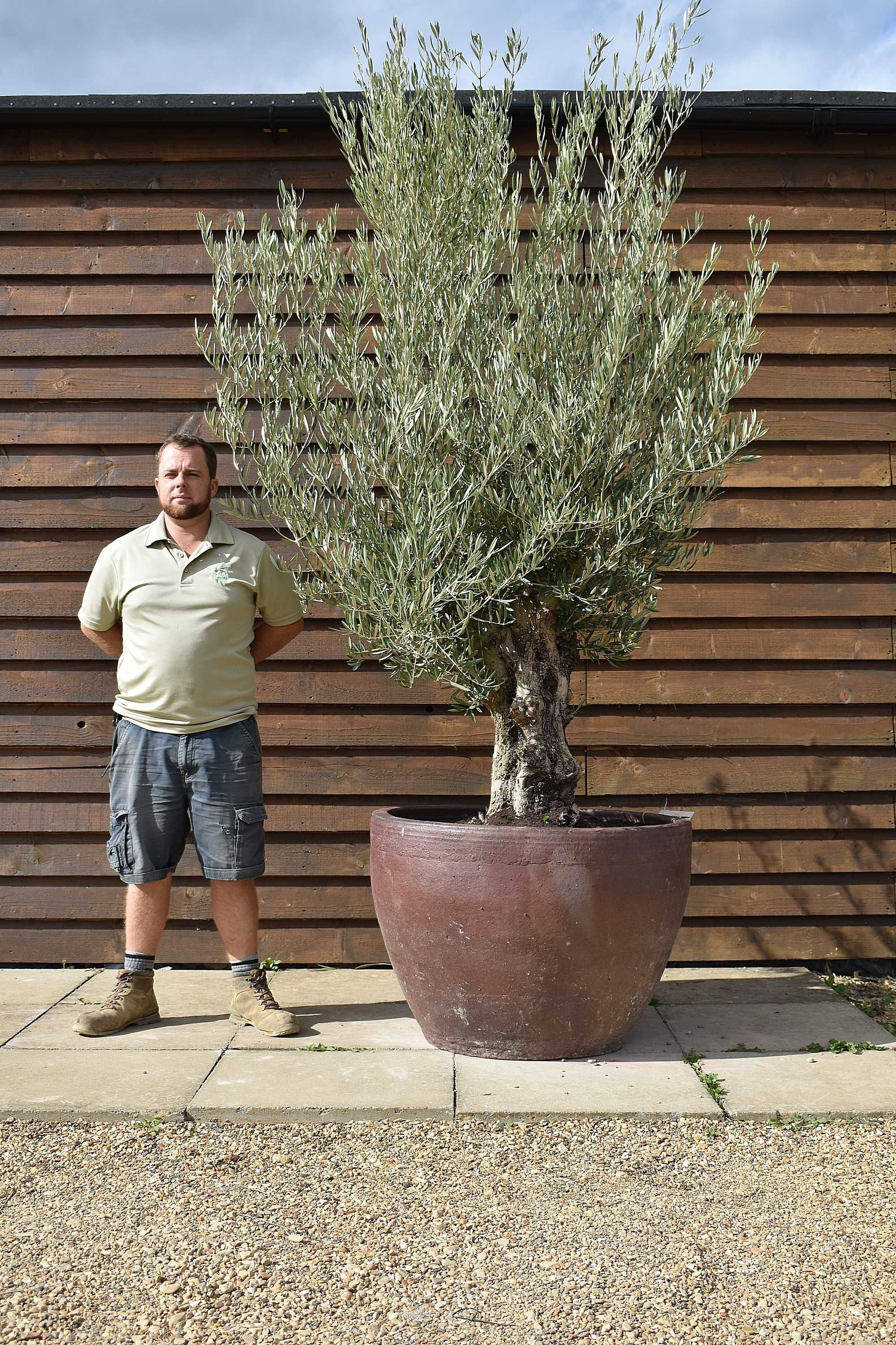 Potted Gnarled Olive No  363-Free Delivery-   Olive Grove