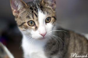 Adopt Pharaoh On Petfinder Brown Cat Animal Pictures Short Hair Brown