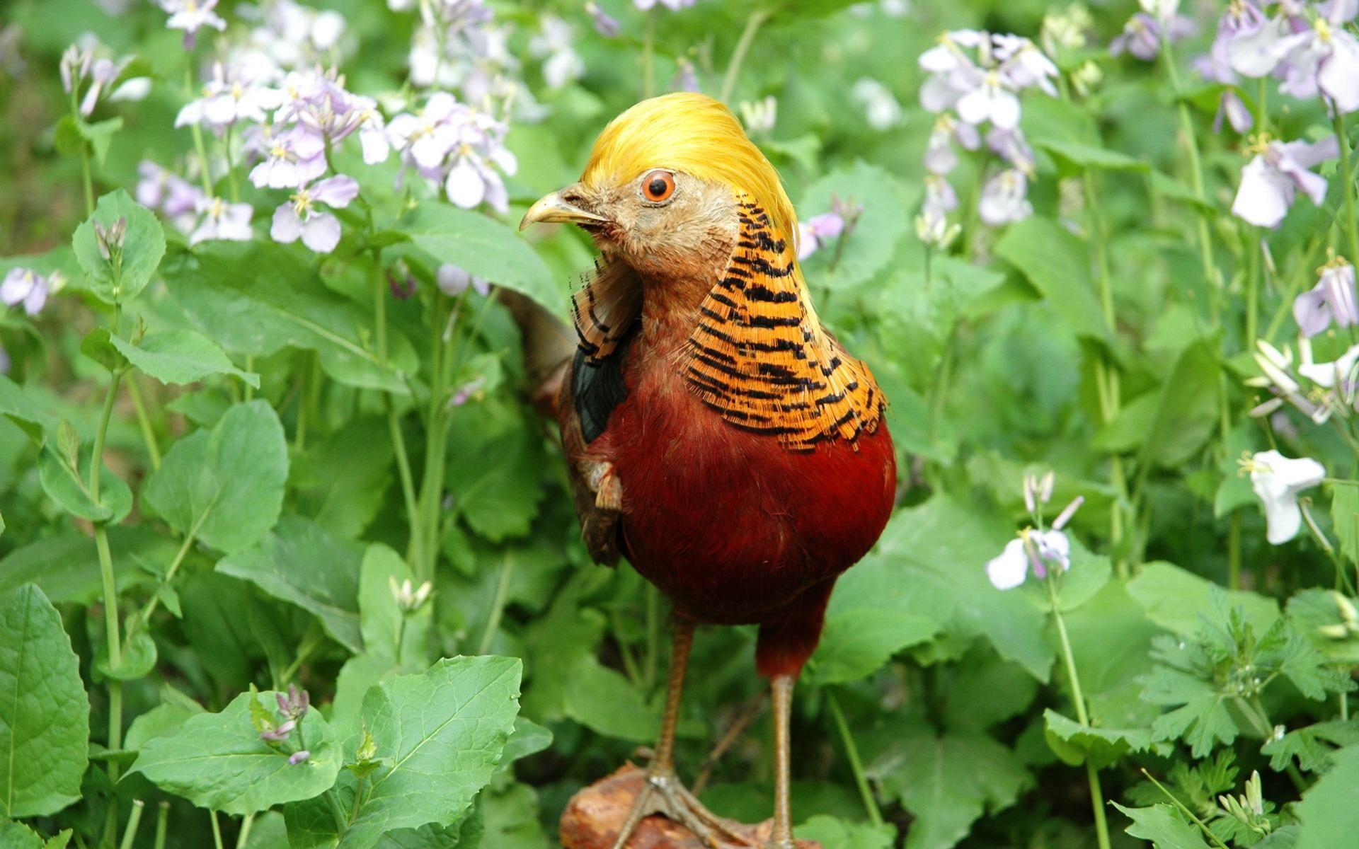 Lovely Golden Pheasant Wallpapers Hd Wallpaper Golden