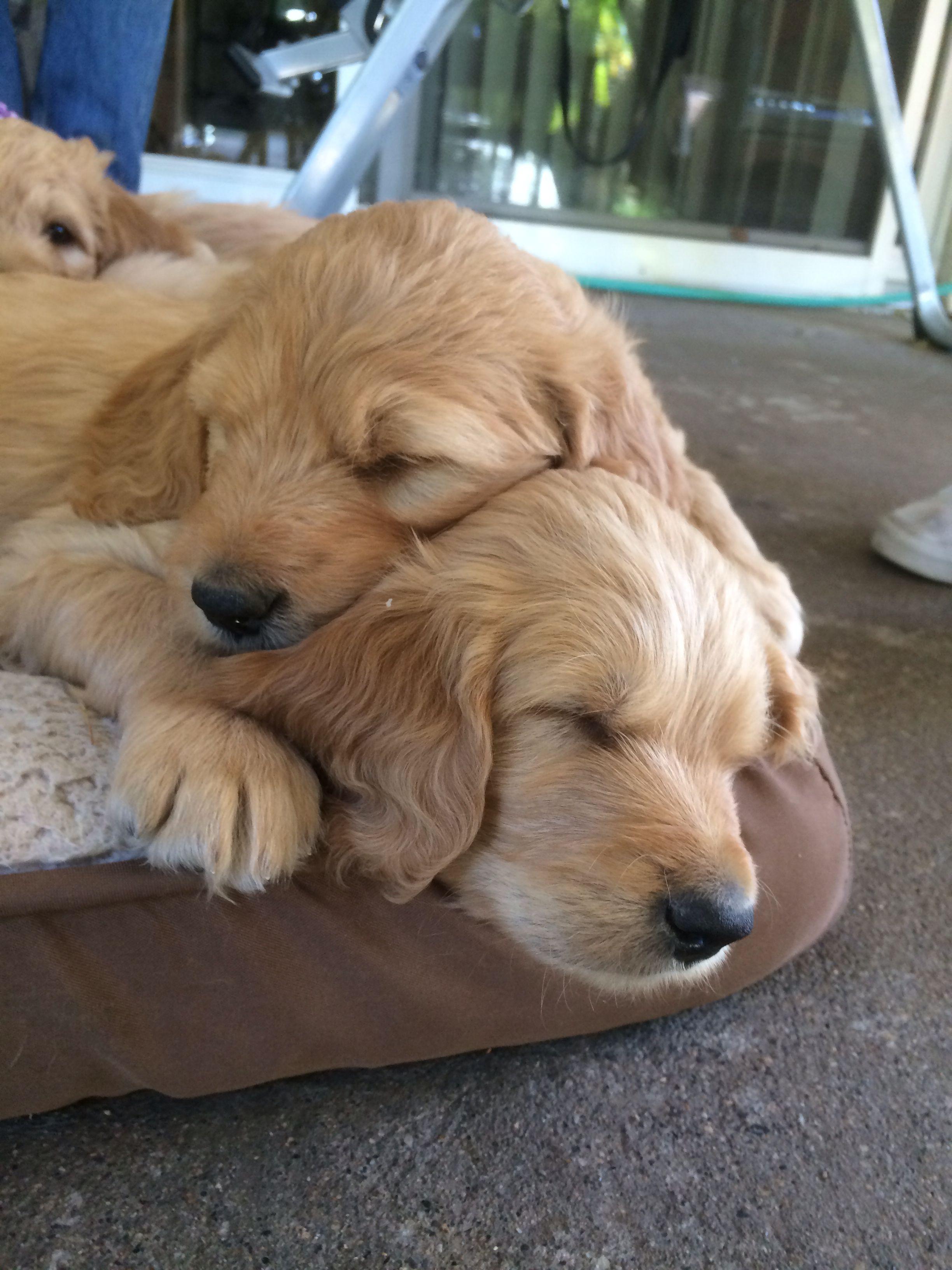 Golden Doodles Golden Retriever And Poodle Mix 6 Weeks Old Puppies Golden Retriever Retriever Puppy