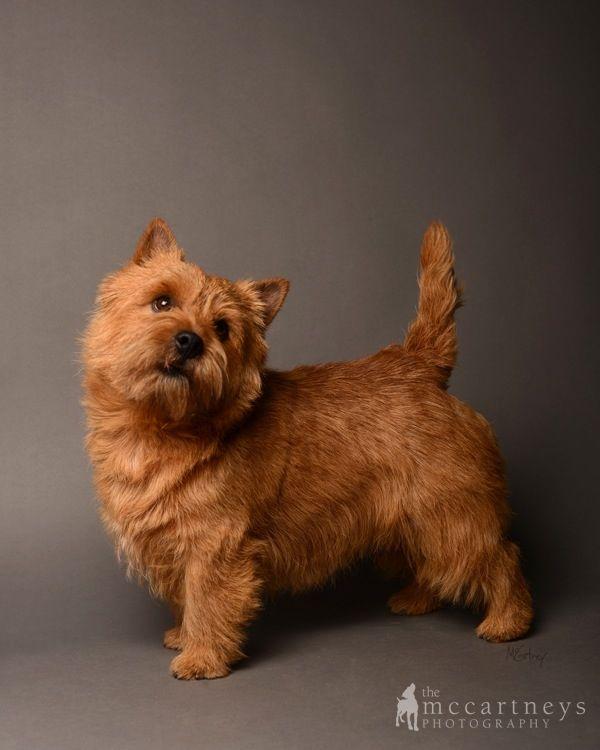 The 25+ best Norwich terrier ideas on Pinterest   Norwich ...