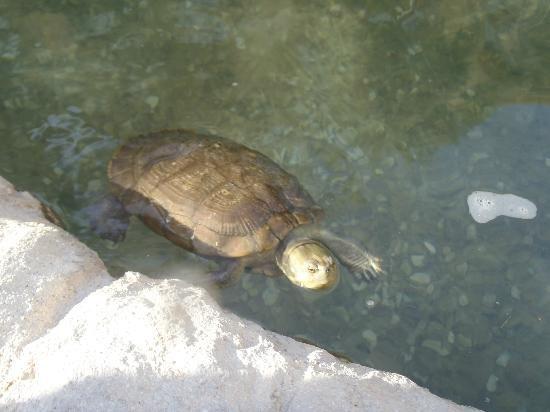 Marriott Grand Cayman Beach Resort: Turtle lagoon