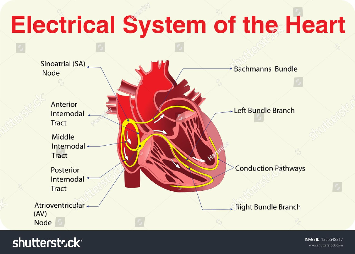 Electrical System Of The Heartelectrical System Heart Heart Diagram Electrical System Electricity