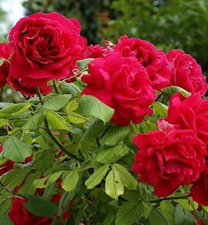 #RED #Roses Butchart #Gardens in #Canada | #flowers