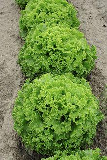 Batavia, Tourbillon RZ ekologiskt frö
