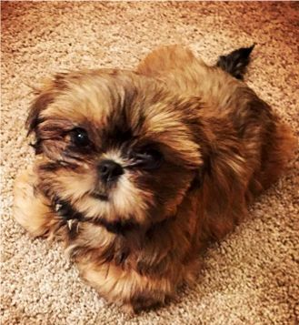 Shih Tzu Affectionate And Playful Shih Tzu Shih Tzu Puppy