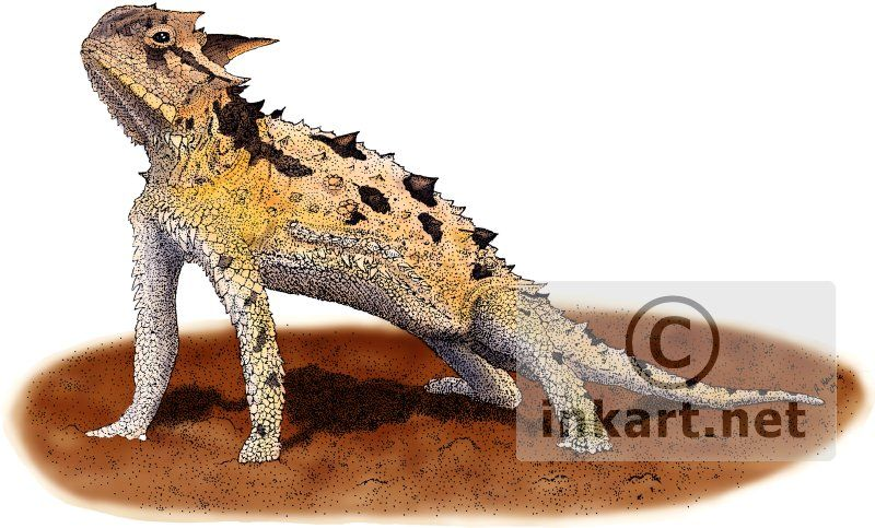 Line Drawing Of Desert Animals : Fine art illustration of a texas horned lizard or toad