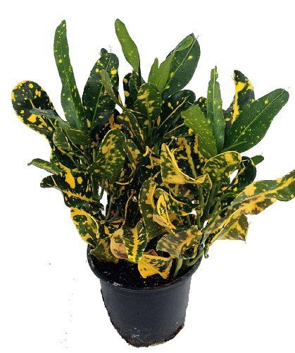 Banana Croton  4 Pot  Colorful House Plant *** Find out more about the great product at the image link.