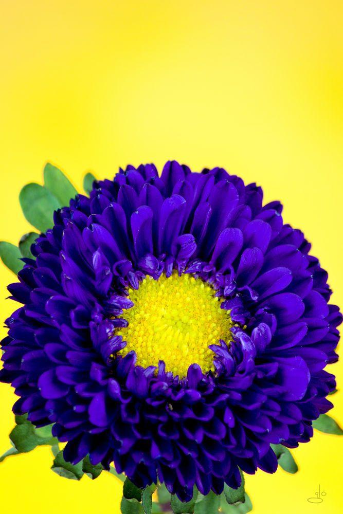China Aster By Glo Photography On 500px Flores Raras Jardin De Flores Flores