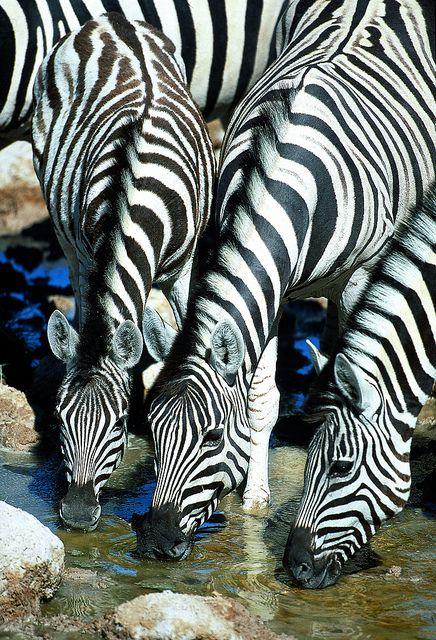 Zebras - Kenya, Africa