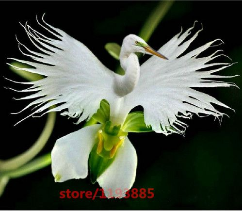 100 개/가방 일본어 라디에타 씨앗 흰색 백로 난초 씨앗 세계 희귀 난초 종 흰색 꽃 Orchidee 정원 및 홈
