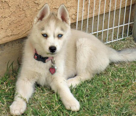 Timer The Siberian Husky I Would Name Her Liz Taylor White