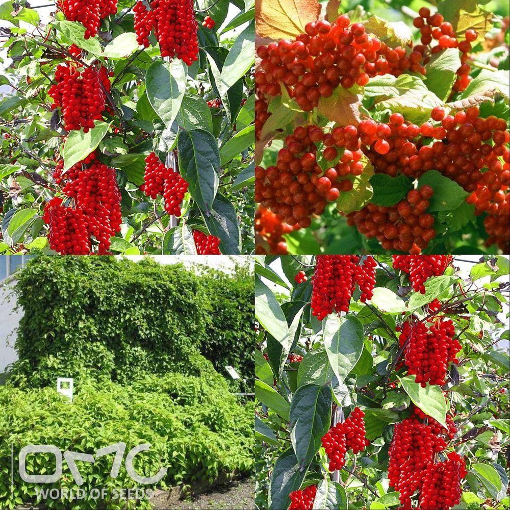 Details about MAGNOLIA VINE (Schisandra Chinensis) seeds