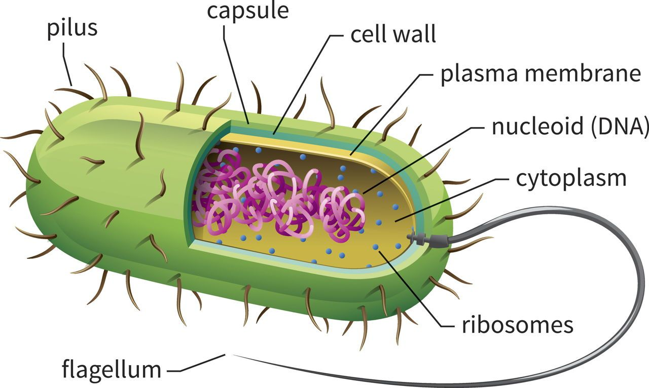 Bacteria Cell Classroom Biology Structure Teaching Model Diagram Project Parts Labeled Coloring And Plant