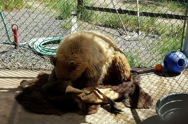 A three-legged, one year old black bear cub has fun in his new donated bison fur collected by and donated from Born Free USA. PHOTO: Fund for Animals Wildlife Center