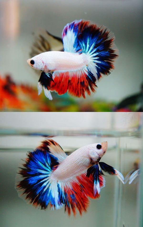 Fwbettashm1406838946 amazing snow rainbow betta for Kampffische arten
