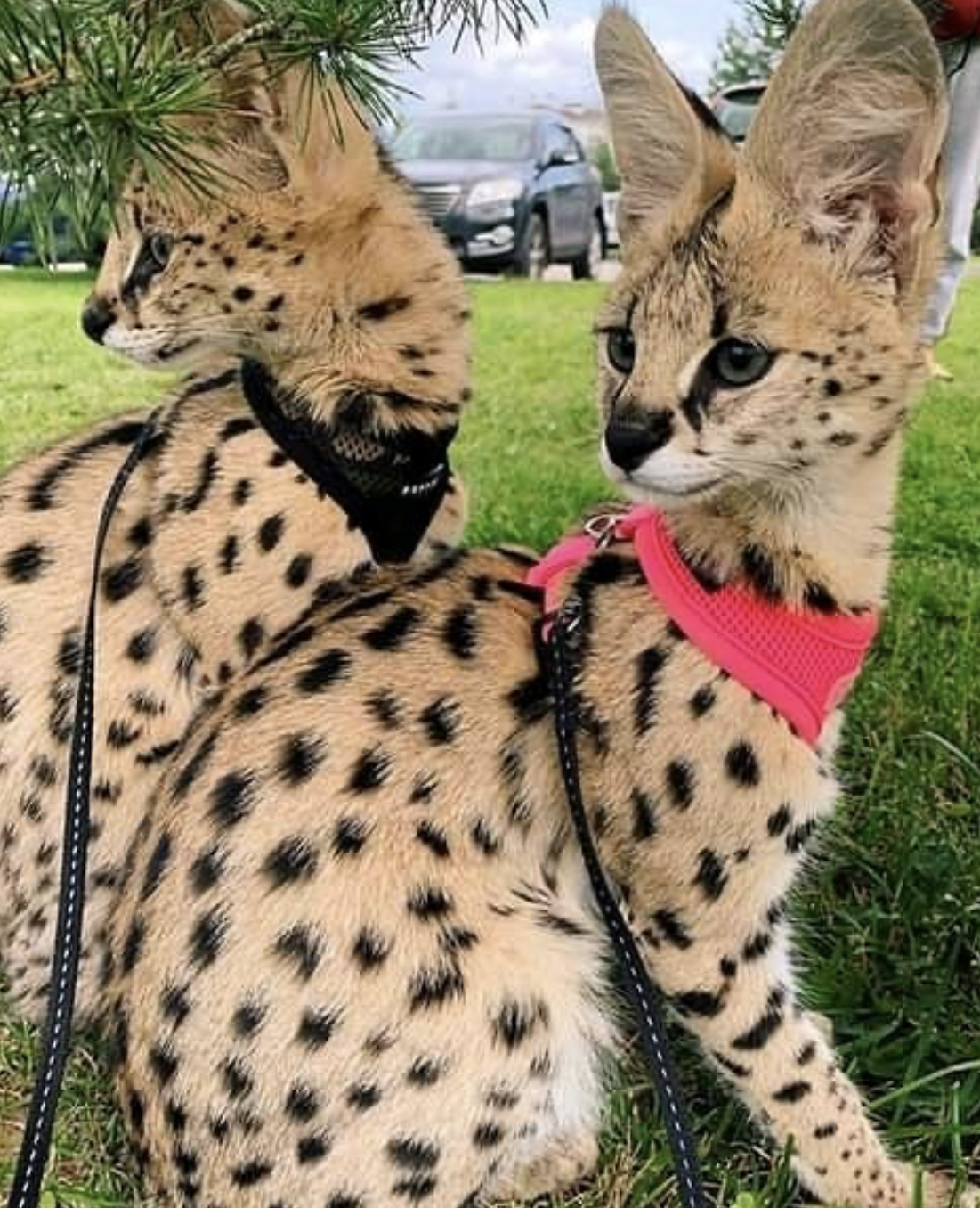 serval kitten f1 savannah sale F1 Savannah Cat Breeder F1
