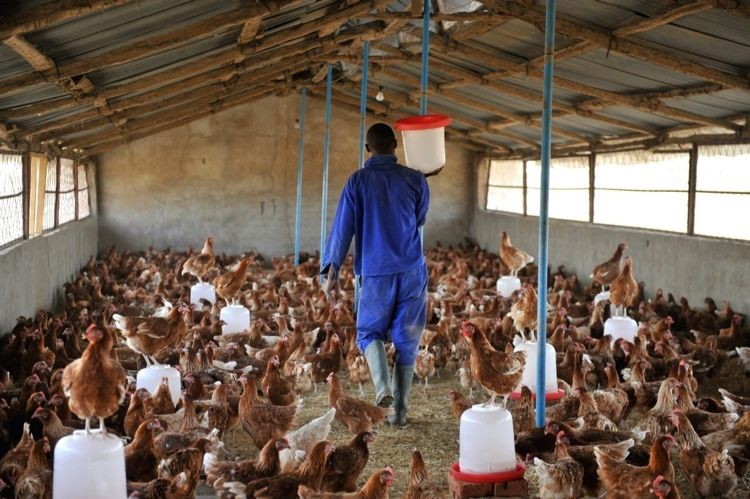 Start Your Own Poultry / Chicken Farming Business Now