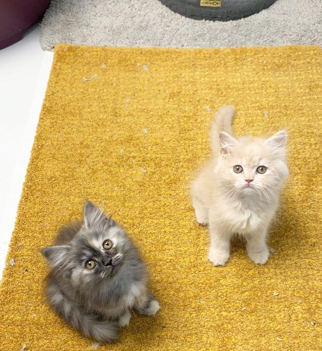 قطط للبيع في الفجيرة الذكور والإناث رائع تولد القطط الفارسي المحبة نقية مربع الفارسي الذكور والإناث وتبحث عن منزل الحيوانات الأليفة إلى الأبد Animals Cats