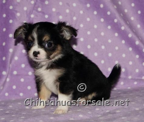 Beva Black And Tan Tri Long Coat Chihuahua Puppy With Images