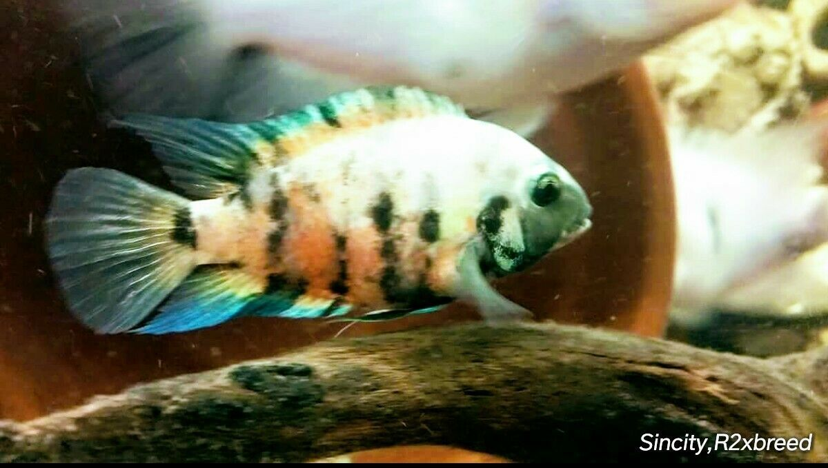 Calico Convicts Cichlids Calico Convicts Cichlids Condition Is Brand New Shipped With Usps Media Mail Pictures Cichlids Tropical Fish Aquarium Cichlid Fish