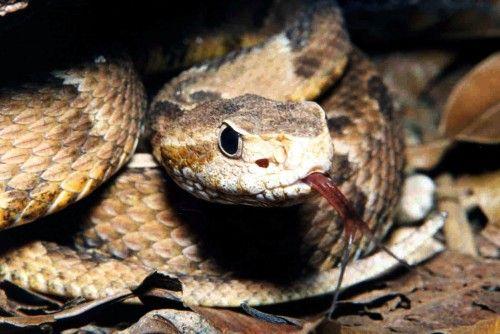 Jararaca Venomous Snake In Brazil Responsible For Over Have Of