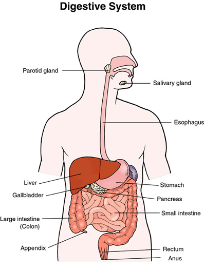 Image Of Human Digestive System Google Search Sistem Pencernaan Manusia Buku