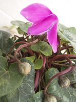 Collecting cyclamens' seed pods!