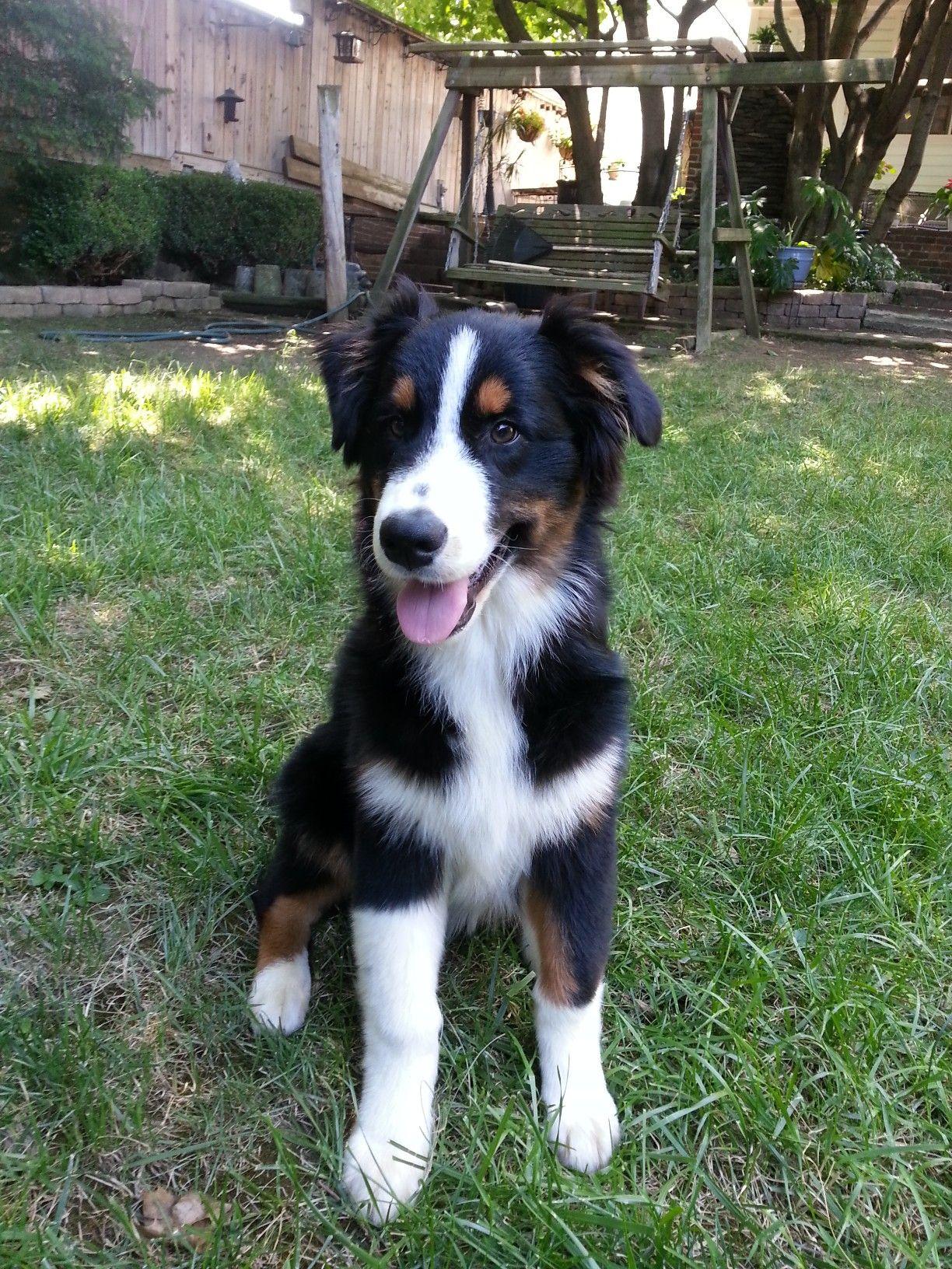 My Little Aussie Baby 5 Months Old Dog Photos Best Dogs