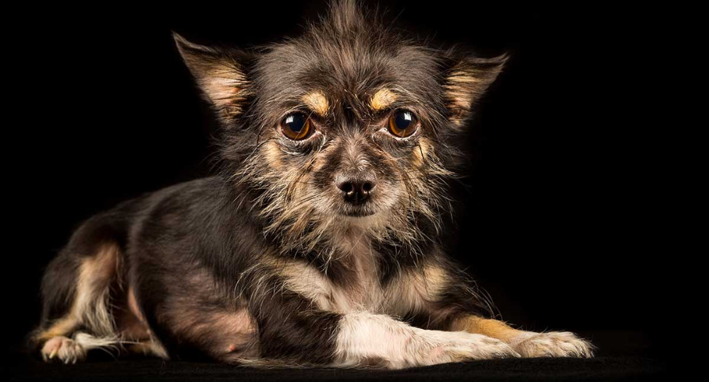 brown rat terrier chihuahua mix Google Search
