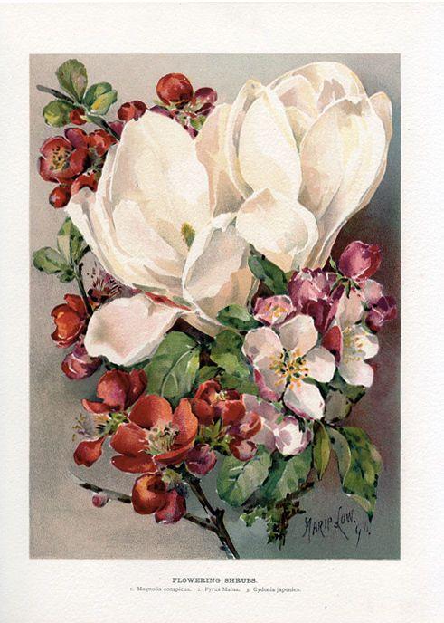 1890s Magnolia Quince Crabapple Antique Botanical Print John Wright