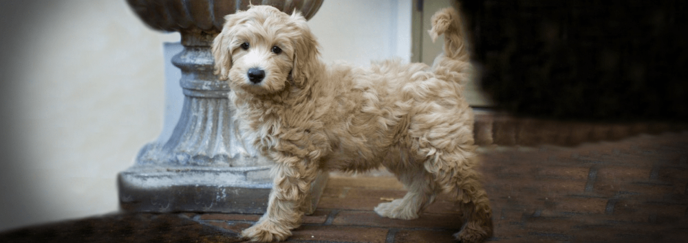 Labradoodle Puppies For Sale Noble Fur Labradoodles Labradoodle Puppies For Sale Labradoodle Puppy Puppies For Sale