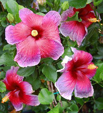Tropical Hibiscus Appassionata Hibiscus Plant Hibiscus