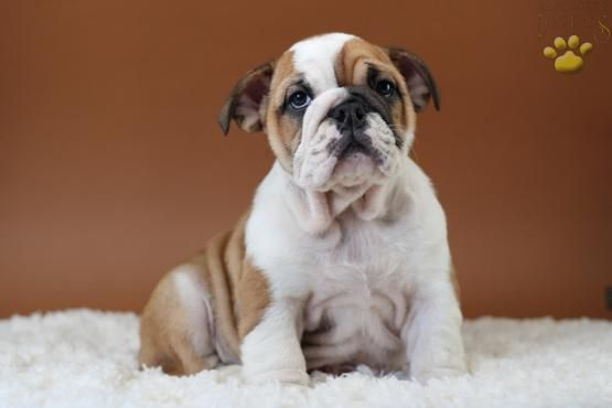 Chanel English Bulldog Puppy For Sale In Fairview Nj Lancaster Puppies Puppies For Sale Bulldog Puppies For Sale Lancaster Puppies