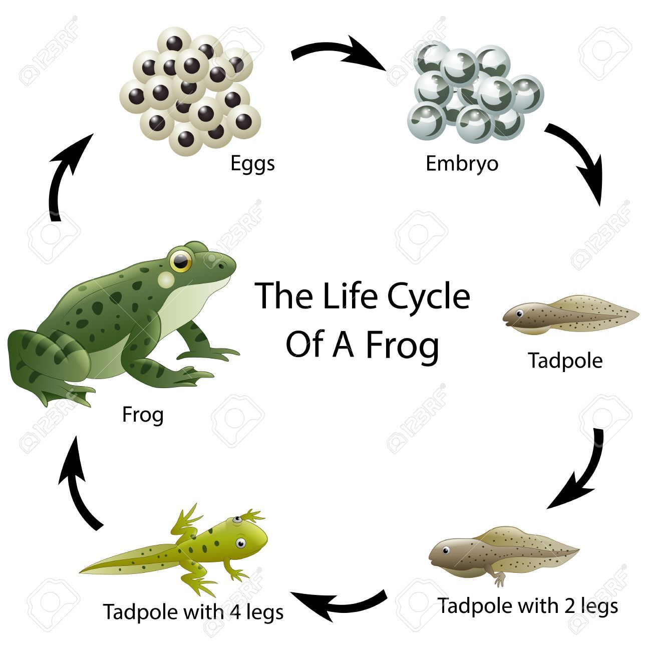 The Life Cycle Of A Frog Ad Life Cycle Frog