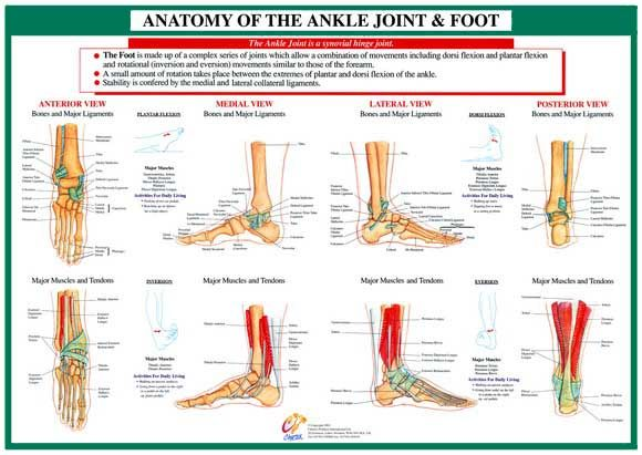 Foot And Ankle Anatomy Chart Faa06 Science And Nature Pinterest