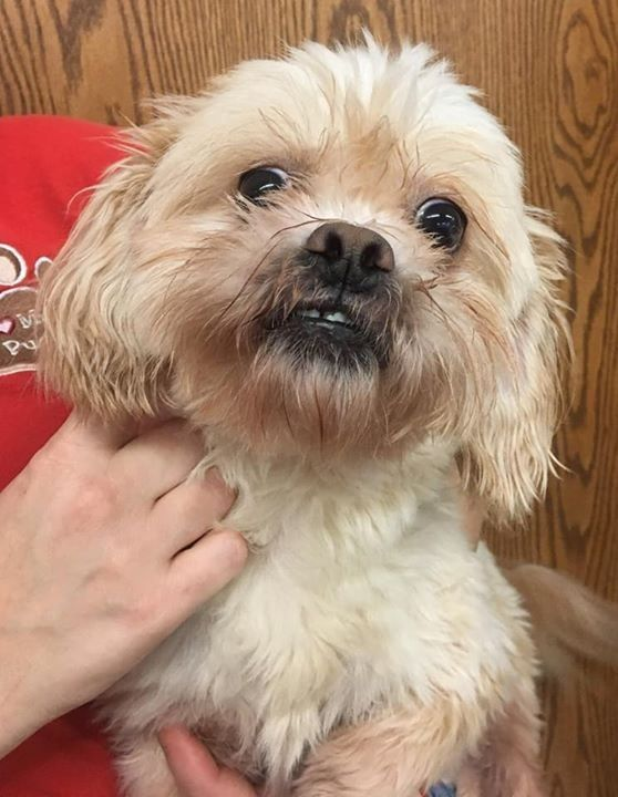 Adopt Ginger On Dogs Pets Shih Tzu