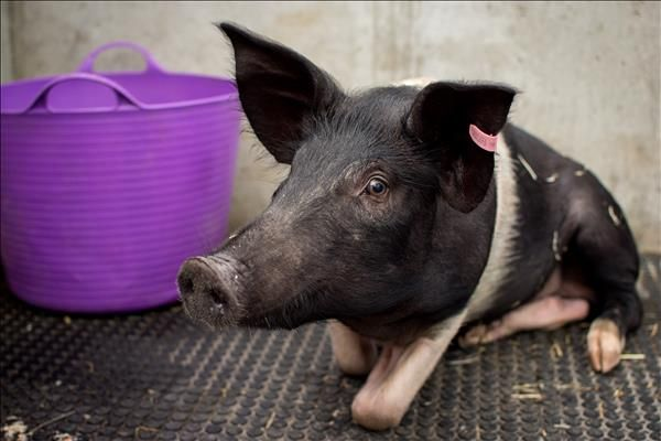 Oink Oink Hello Charlie Here This Pig Has A Big Love For Mud And Snuffling Around For Food Charlie Is A Wessex Saddleback Looking For A Adoption Animals Pet Care