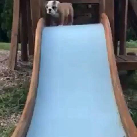 English Bulldog Puppy Down Slide