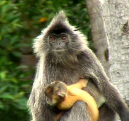 Golden child.... Leaf Eater Monkey ... There is a troop who come past every few days.