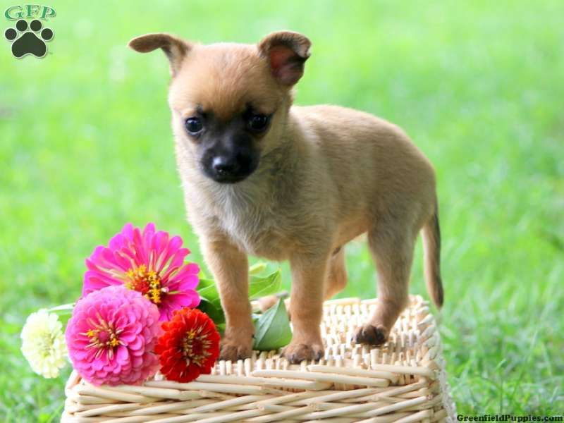 Finn chihuahua mix puppy for sale in newmanstown pa