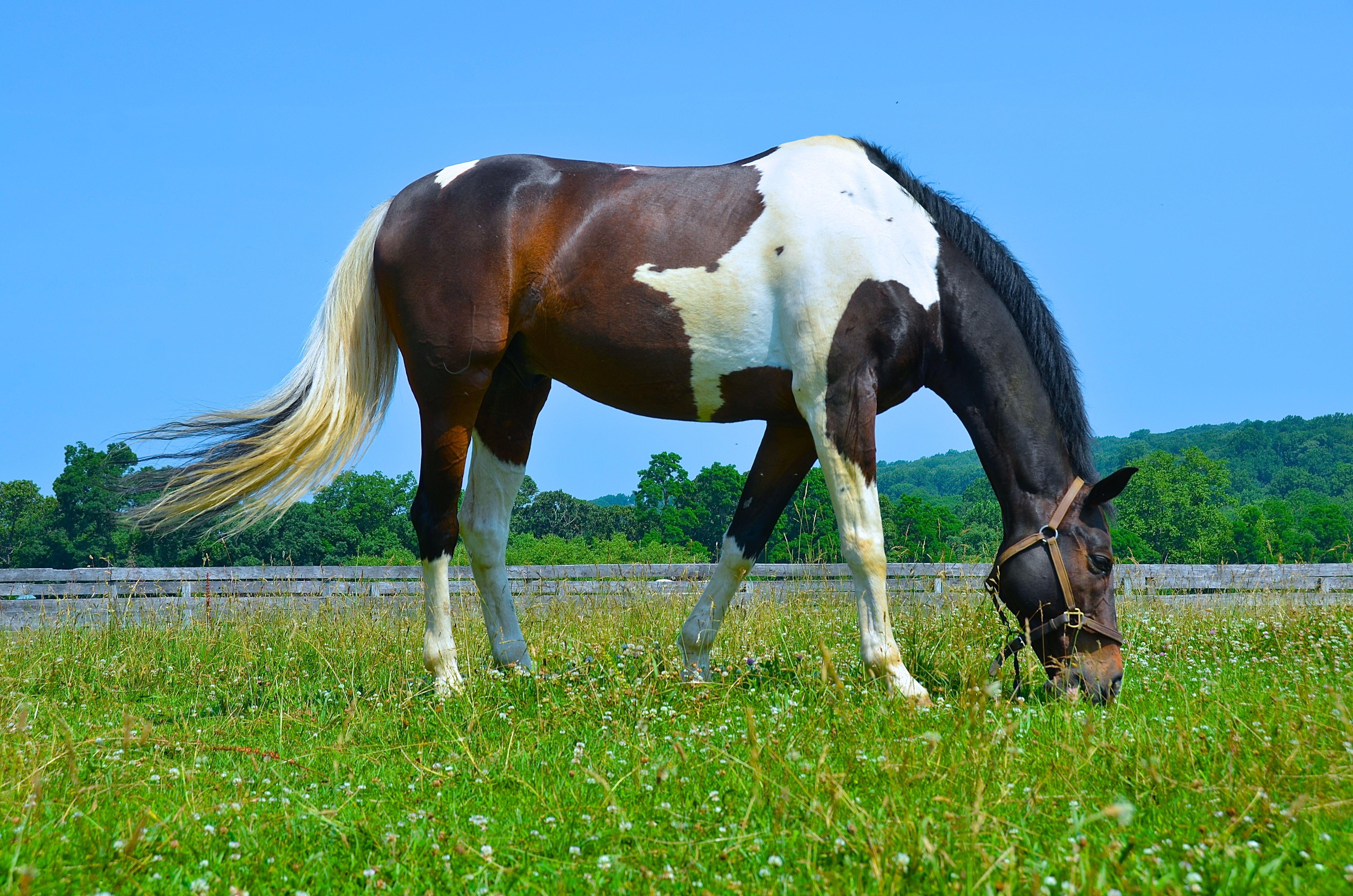 Tobiano Paint Horse Horses, American paint horse